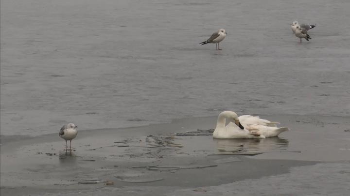 Весь Ямал следит за судьбой замерзающего на озере лебедя