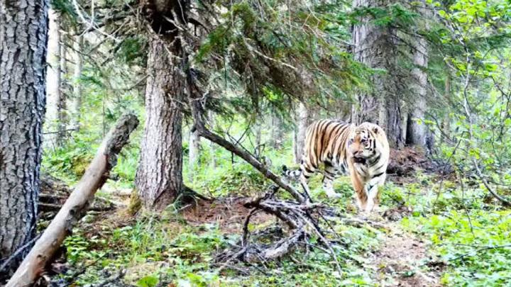 Незваный гость: на севере Хабаровского края был замечен тигр