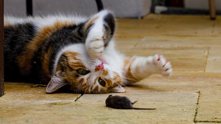 На коже здоровых кошек живут полезные бактерии, эффективно уничтожающие некоторые патогены.