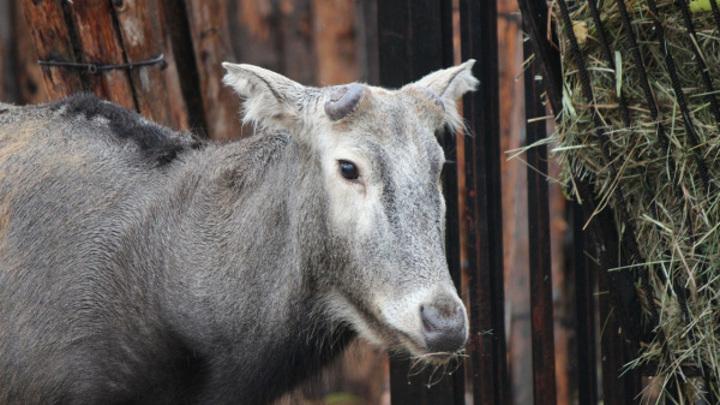 Олень Тор из нижегородского зоопарка избавился от рогов