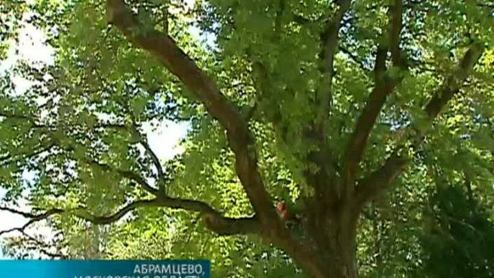 """В музее-заповеднике """"Абрамцево"""" спасают знаменитый памятник живой природы"""